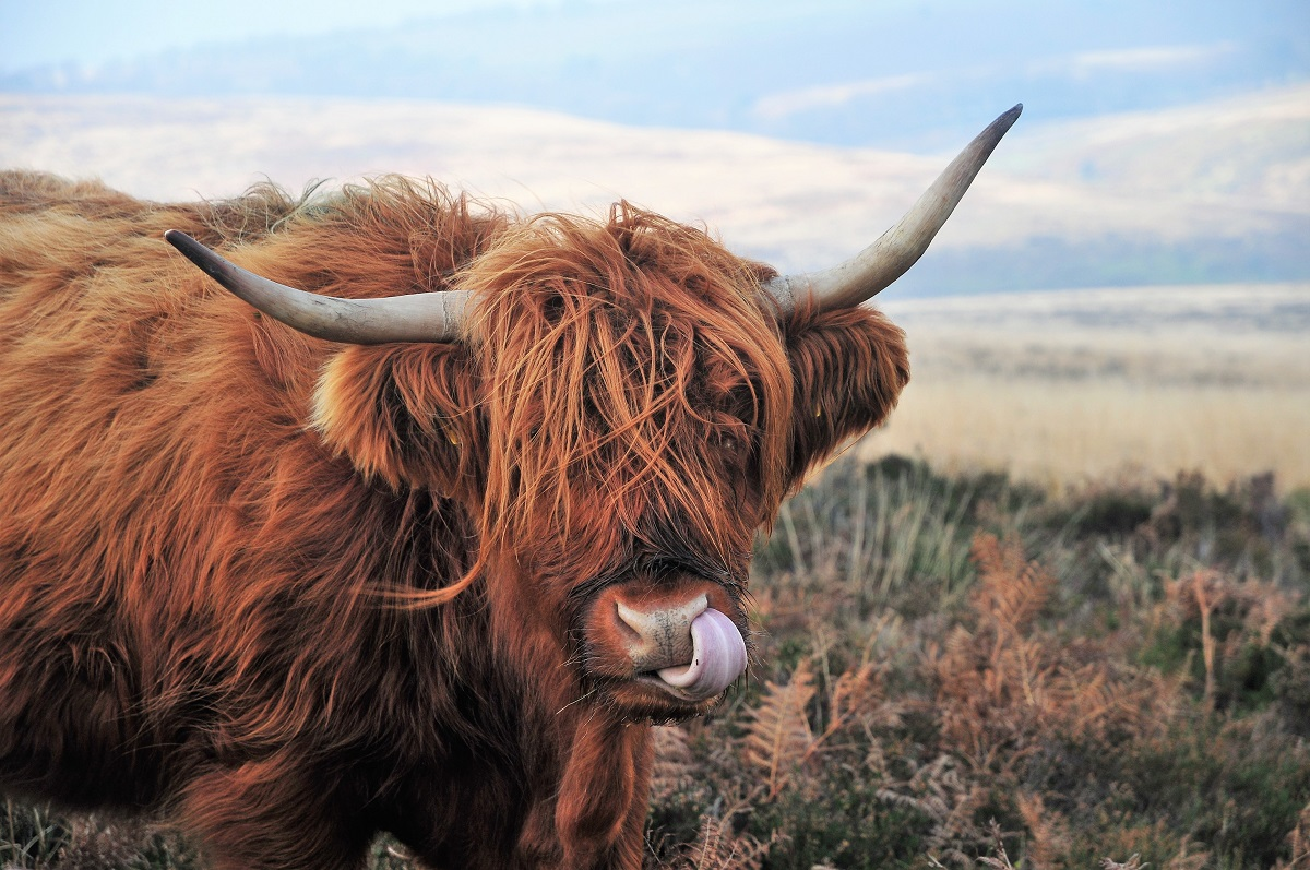 Bull by Horns - Time to Take the 'Bull By The Horns' & Moo-ve To Magento 2?